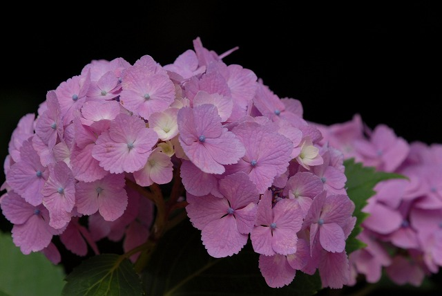 紫陽花19