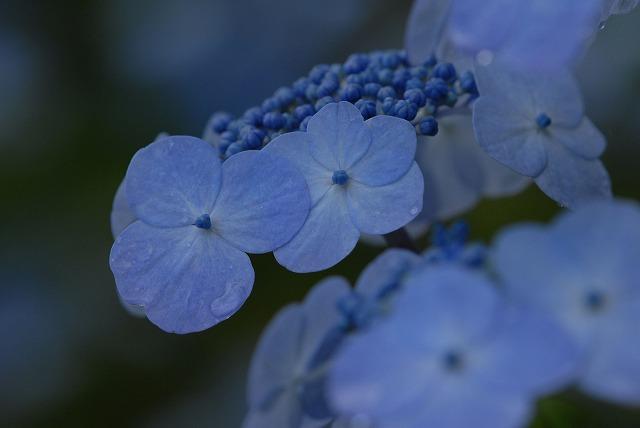 山紫陽花9