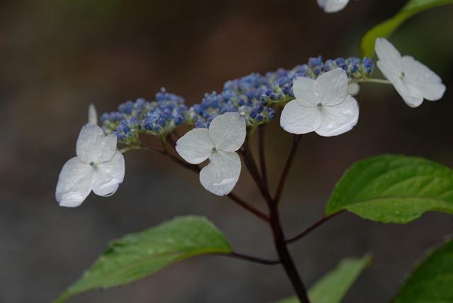 山紫陽花10