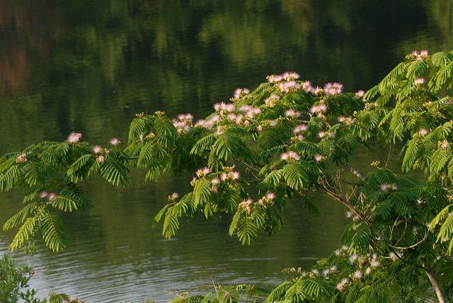 ネムの木1