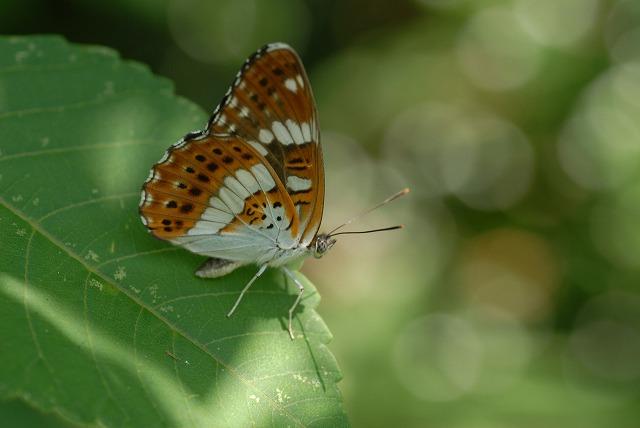 ミスジ蝶2