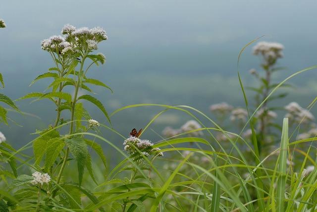 ヒヨドリ花とベニシジミ
