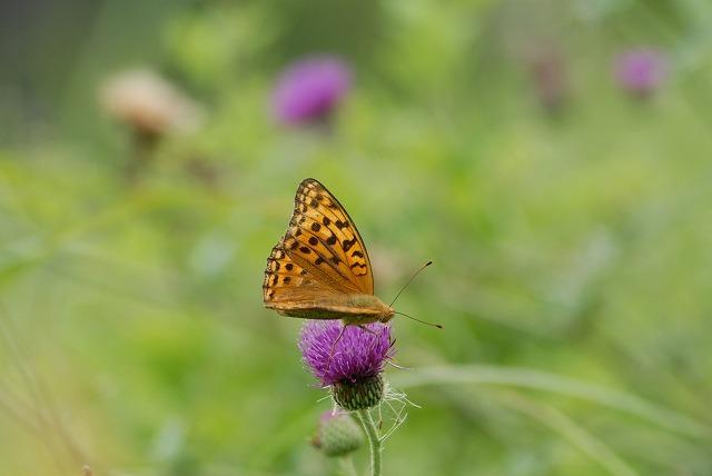 アザミにとまる蝶1