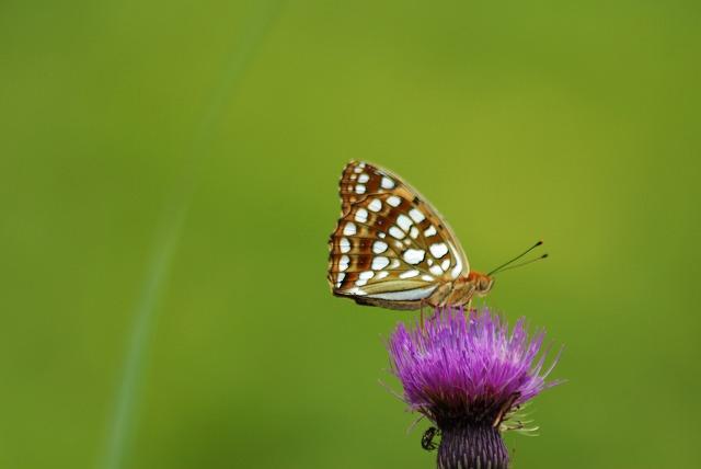 アザミと蝶2