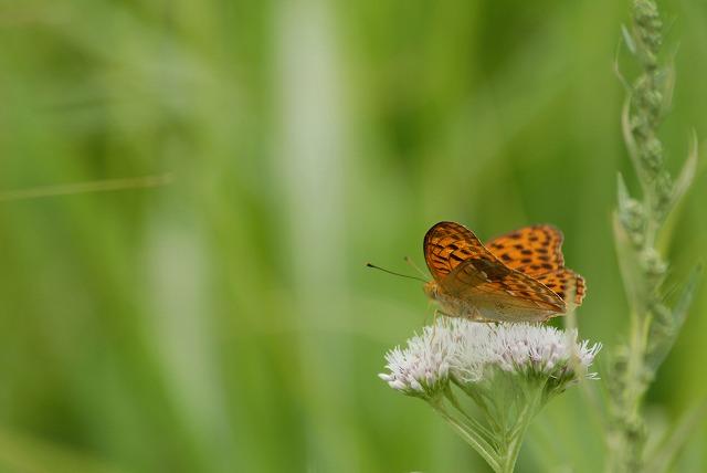 ヒヨドリバナと蝶3