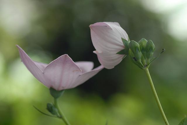 ピンクの桔梗1