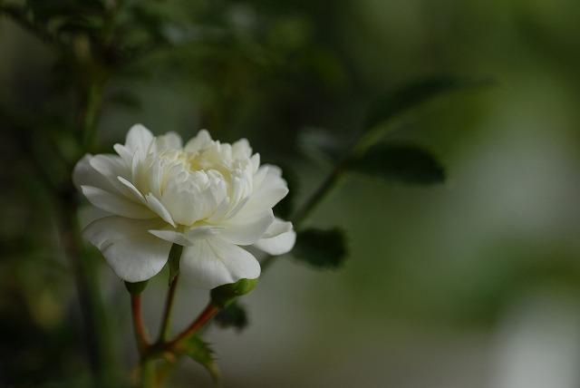 姫バラ八重