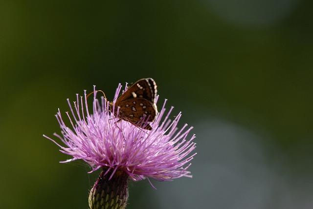 アザミとセセリ蝶