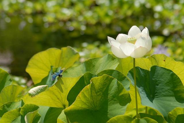 蓮とチョウトンボ1