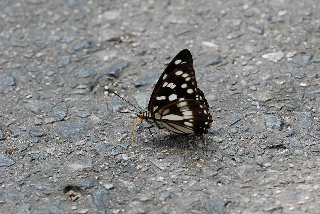 ゴマダラ蝶