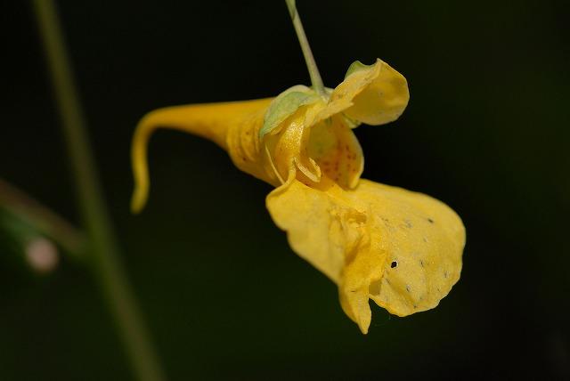 黄ツリフネ草
