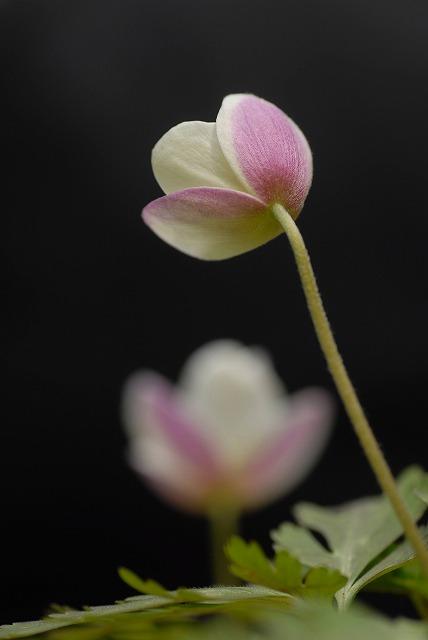 イチリン草3
