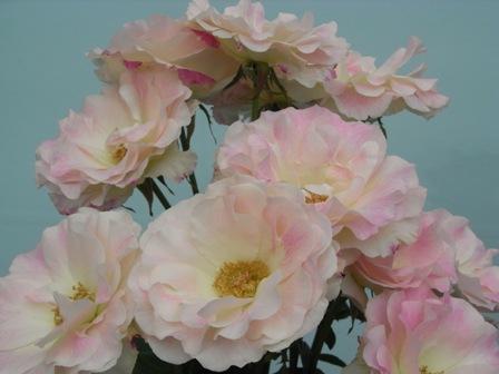 淡いバラ1