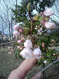 桜つぼみ1