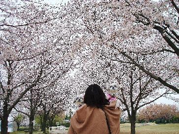 4.7.お花見後ろ桜