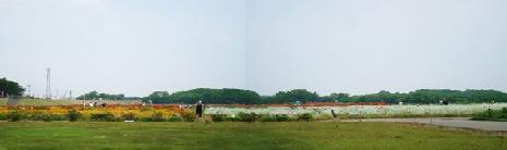 小貝川花畑