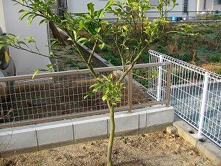 晩白柚H20.3.18