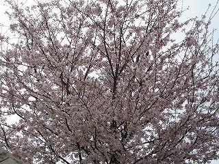 桜H20.4.5