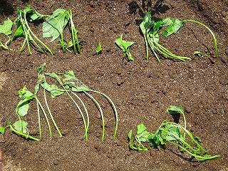 サツマイモ植え付けH20.5.4