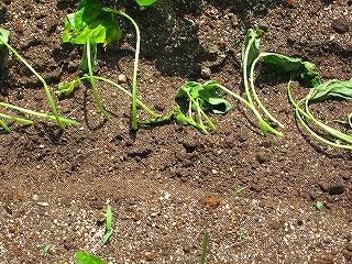 サツマイモ苗植え付け2G20.5.4