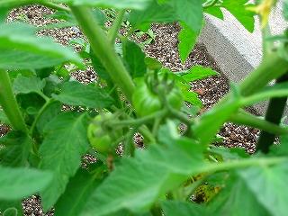 トマト2H20.5.26