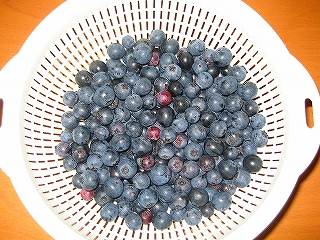ブルーベリー収穫H20.7.31