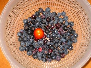 ブルーベリー収穫h20.8.4
