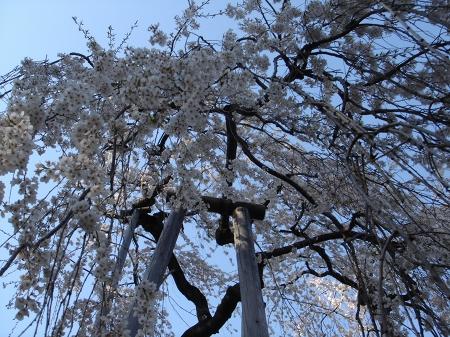 伏姫桜 (1)