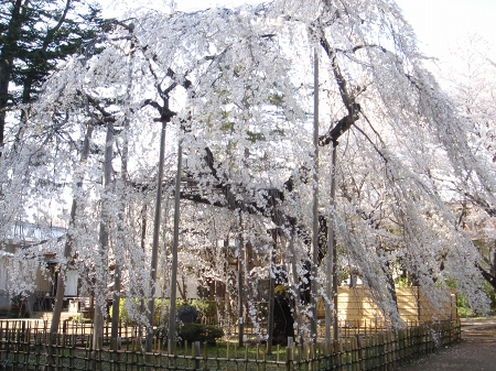 伏姫桜 (3)