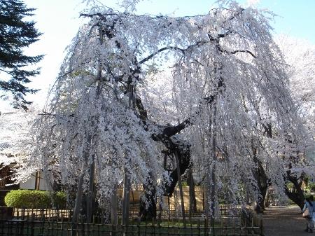 伏姫桜 (4)