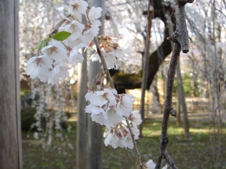伏姫桜 (5)
