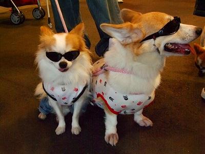 Aサングラス犬