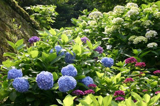 円覚寺紫陽花