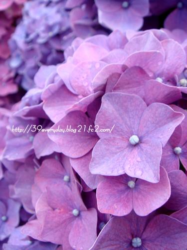 紫陽花満開2