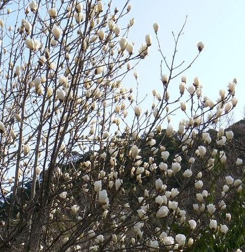 木蓮の花 041