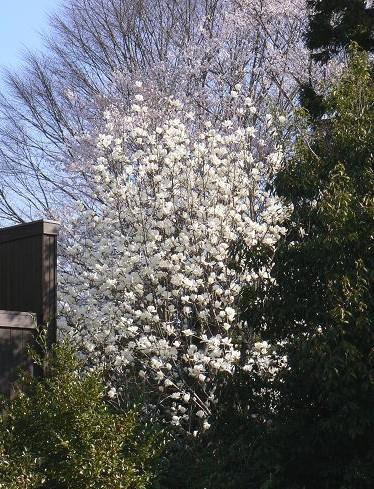 モクレンと桜 051