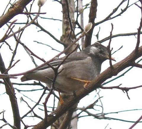 樹上のムクドリ 259