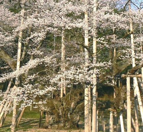 薄墨桜中心 051