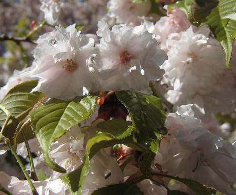 大洞桜UP 023
