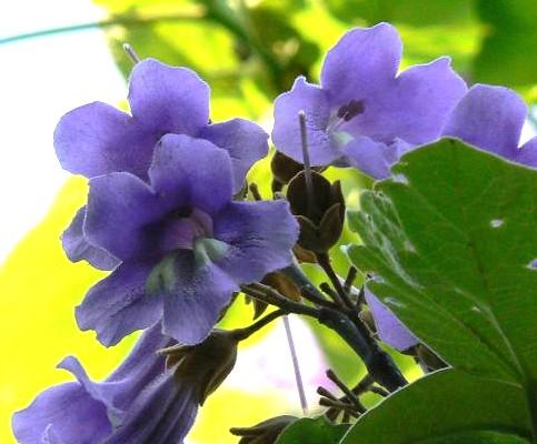 桐の花 036