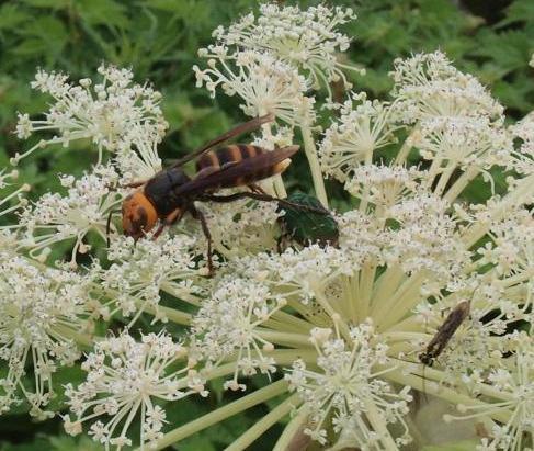 スズメバチ 057