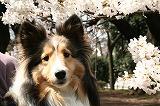 桜とりん(正面)