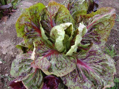 春イタリア野菜7