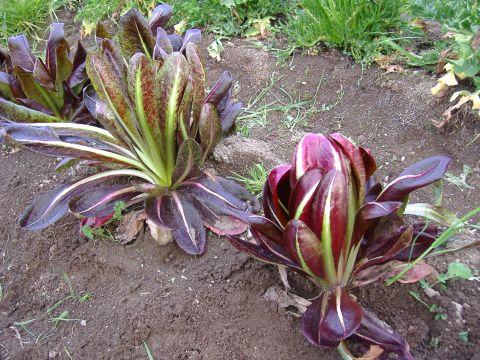 春イタリア野菜6