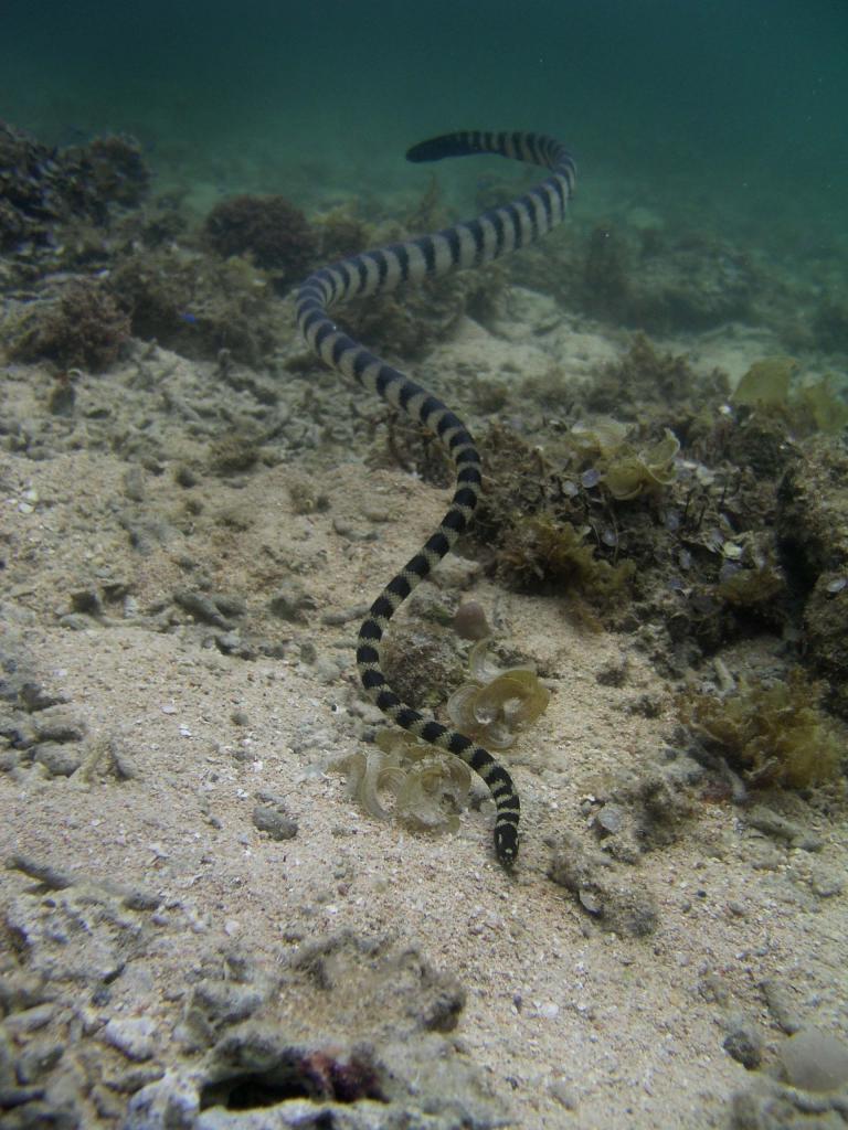 クロガシラウミヘビ