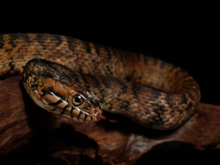 フロリダミズベヘビ