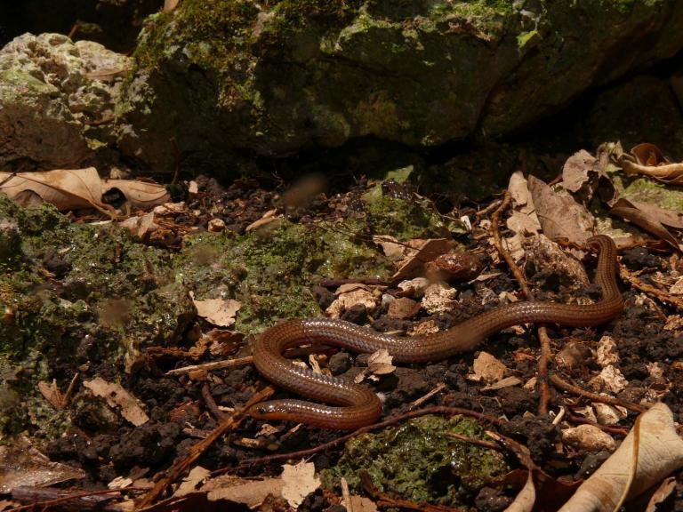 ミヤコヒメヘビ