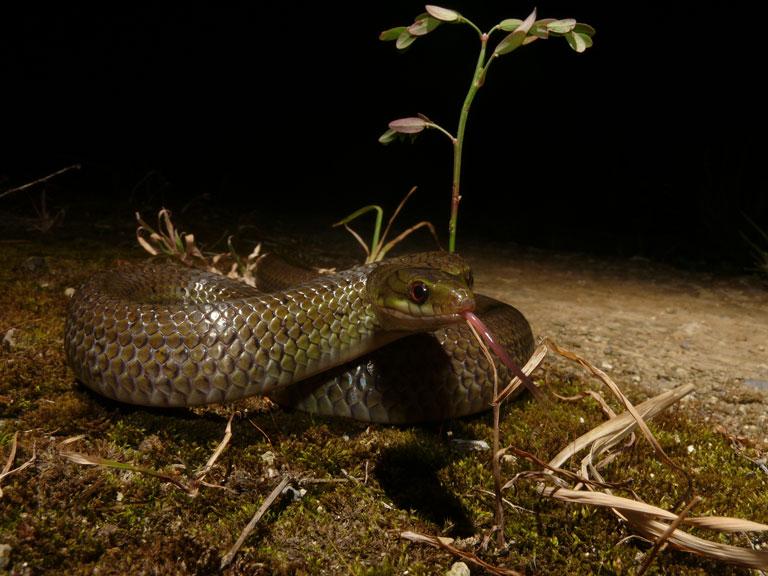 サキシマアオヘビ