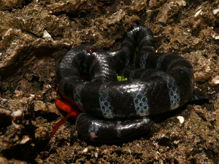 ヒロオウミヘビ