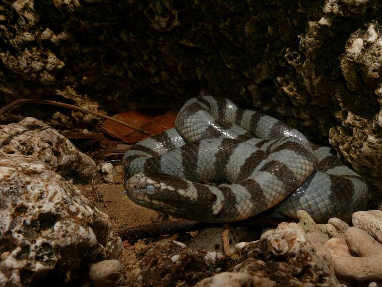 アオマダラウミヘビ